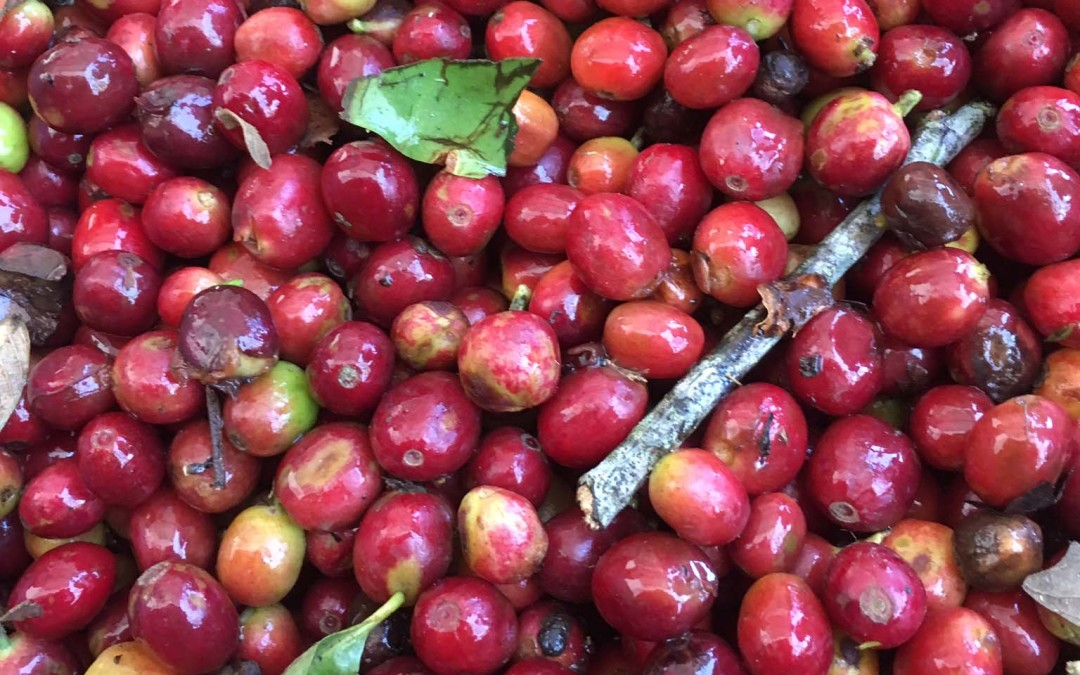 Washed vs unwashed coffee processes- which is better?