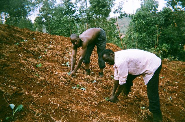 coffee farmers in Uganda pulling weeds