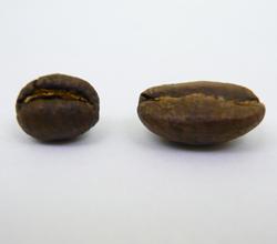 peaberry coffee bean vs regular coffee bean